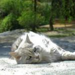 妻籠宿のネコ・其の二