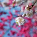 花桃と藤の花とクマバチと
