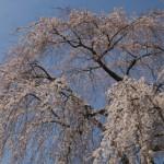 桜咲く~2009~