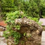 イチョウの原木から芽が出てきた