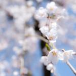 ポカポカ陽気で桜が咲いた!