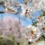 妻籠宿と馬篭宿の間、一石栃の桜
