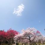 清内路・ふるさと村自然園の花桃