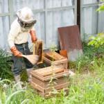 ハチミツ採取を見学