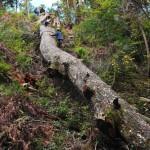 恋路峠の栂(つが)の大木の切り出し