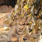 妻籠宿のネコ・其の三