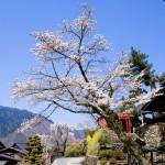 妻籠は桜が満開