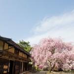 一石栃・立場茶屋の桜が見頃と聞いて…