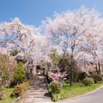 地元・長延寺の枝垂桜