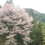 嫁日記:桜のペン