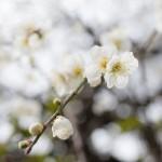 妻籠宿の花が咲き始めました