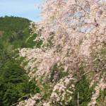 嫁日記:お店の周りの桜