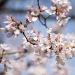 妻籠宿は桜満開