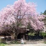 一石栃立場茶屋の八重桜