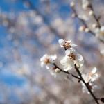 妻籠宿の梅が咲き始めました