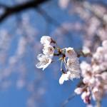 妻籠宿の桜が満開!(らしい)